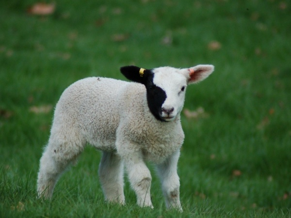 News Article - Our famous ewe Ying Yang born in 2012
