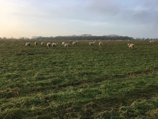 EWES GRAZING COVER CROPS